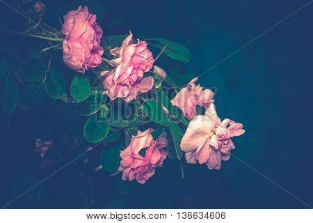 Pink Climbing Rose Retro