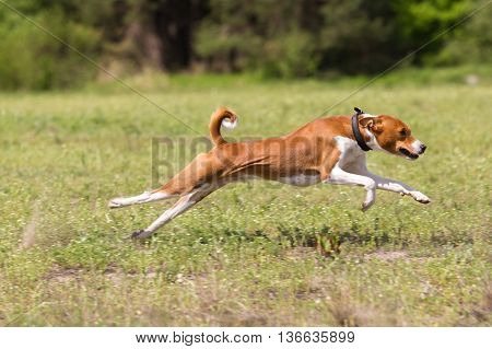 Basenji Running Across The Field. Coursing