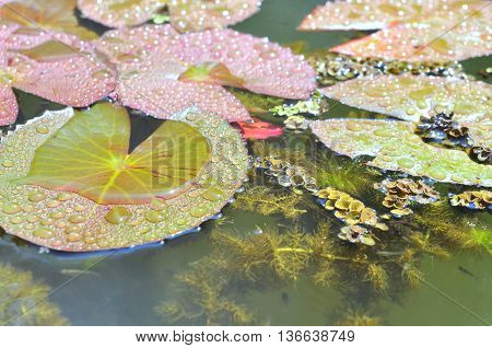 Water lily pads in the lake in spring