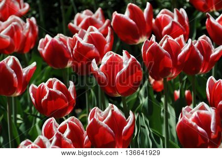 Garden full of red and white tulipans
