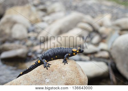 Beautiful salamander in a bright color in natural conditions in the summer.