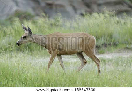 Deer wandering around between the badlands of Dinosaur Provincial Park Alberta Canada