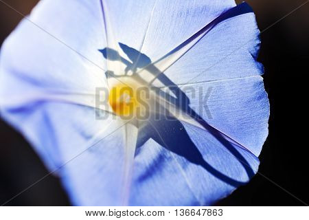 Sunshine In The Blue Bellflower