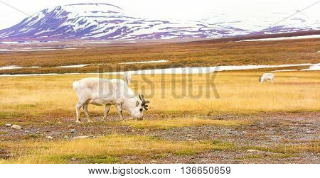 Reindeer eating grass in the advent valley in Svalbard. Summer in the arctic environment near Longyearbyen.