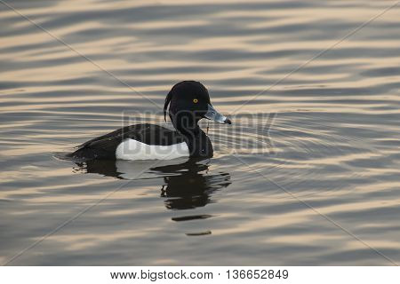 Tufted Duck (Aythya fuligula) drake resting on the surface