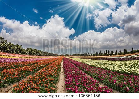Flower kibbutz near Gaza Strip. The sun's rays shine from cumulus clouds. Spring flowering buttercups