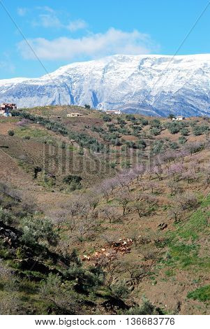 Herd of goats and herdsman on hillside with pink blossom trees and snow capped mountains to rear Arenas Malaga Province Andalusia Spain Western Europe.