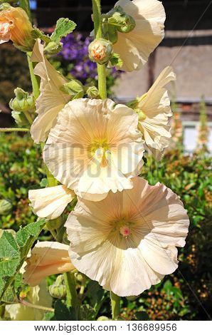 Cream coloured Hollyhock flowers in full bloom