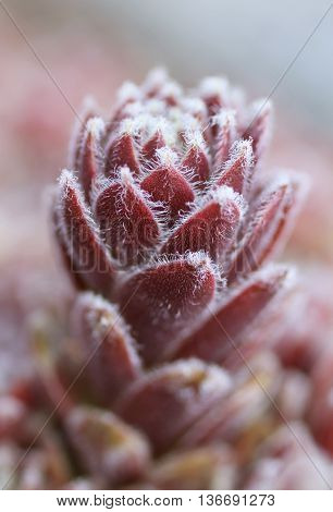 close photo of purple shaggy cultivar of succulent plant rolling hen-and-chicks
