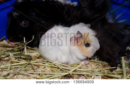 Newborn (one-day-old) guinea pig baby and its mother