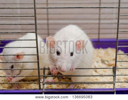 Curious white rat looking out of a cage (selective focus on the rat head)