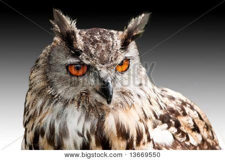 Eagle Owl Against Dark Sky