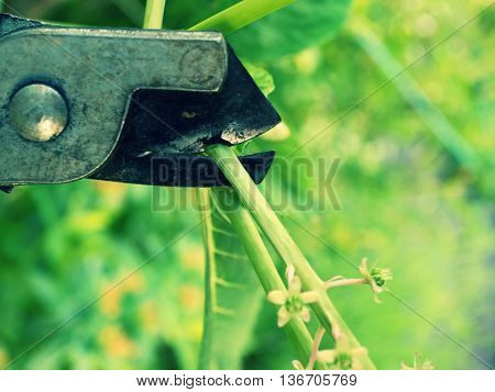 Ardener Trim Blossom Indian Pokeweed Stalk.