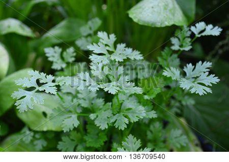 Coriander, Coriandrum sativum, Family Apiaceae, Central of Thailand
