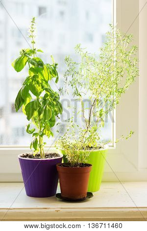 Spicy herbs on the sill - savory, basil and thyme in colored pots
