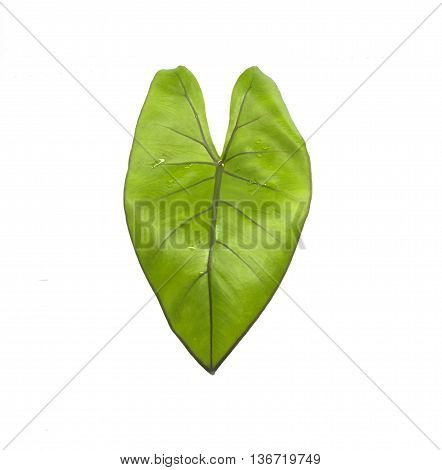 Syngonium Schott leaves isolated on a white background.