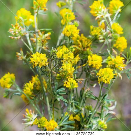 Sickle alfalfa or yellow ( Latin name Medicago falcata) is a perennial herb; the species of the genus Medicago) of the Legume family (Fabaceae)