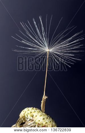 Close up of Single Dandelion Seed still attached to flower head against a dark background