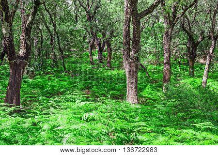 fern floor in a Sardinian forest Italy