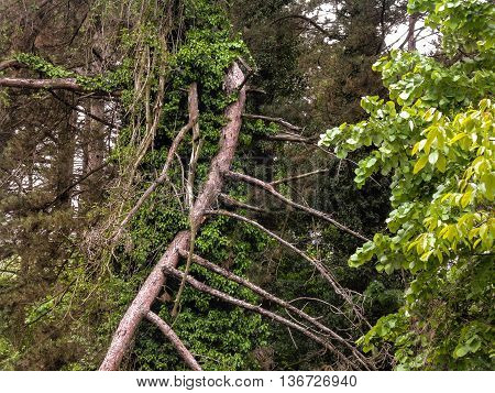Forest thicket. Broken pine branches overgrown with ivy