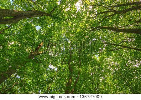 Upward view of Common Beech (Fagus sylvatica) trees. Poland, Holy Cross Mountains.