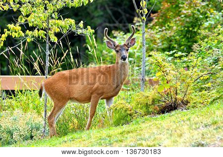 A young male black-tailed deer with velvet covered antlers standing in a city park.