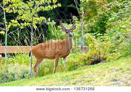 A young black tailed deer with velvet two point antlers and a mouthful of grass standing in a city park.