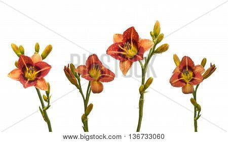Set bicolor daylily in the drops of dew on a white background