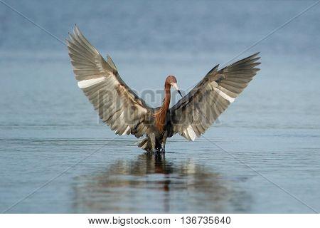 Reddish egret (Egretta rufescens) hunting in a water