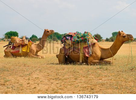 A Camels In Desert,jaisalmer, India