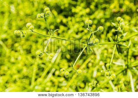 Stem Of Green Fruit Plants.