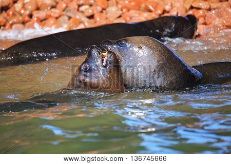 Couple Of South American Sea Lions Playing In The Water In Ballestas Islands Reserve In Peru