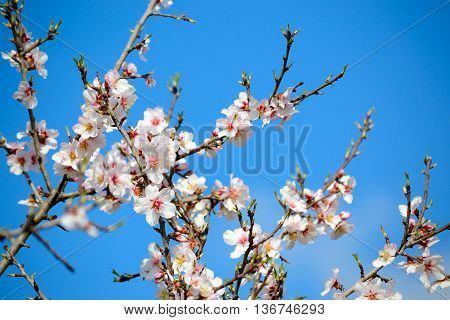 close up of almond branches with flowers