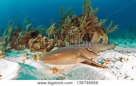Nurse shark at Amergris Caye, San Pedro, Belize