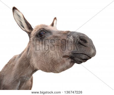 Funny, cheerful and  curious gray donkey isolated on white