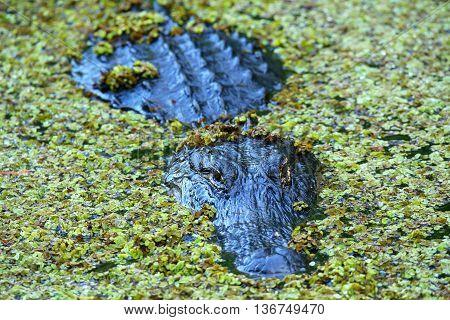 Alligator (Alligator mississippiensis) hiding  in a swamp
