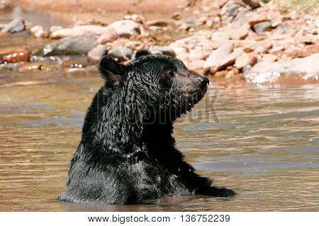 American Black Bear Sitting In A River