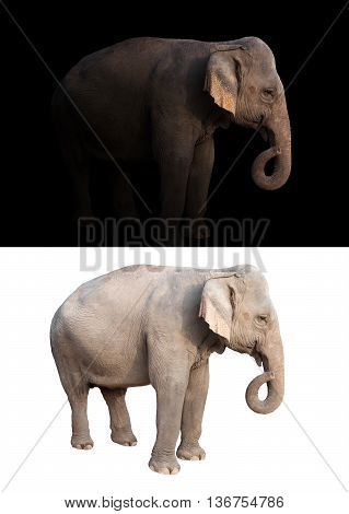 Female Asia Elephant In The Dark And White Background
