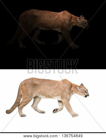 Puma (panthera Onca) In The Dark And White Background