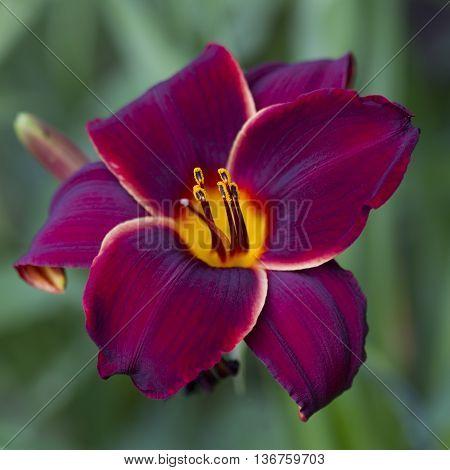 This is a rich deep colored burgundy wine daylily macro, hemerocallis