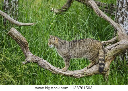 Beautiful Scottish Wildcat Posturing On Tree In Summer Sunlight