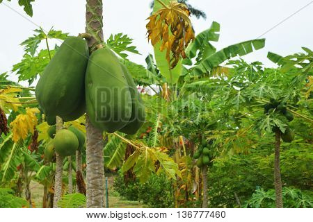The papaya tree with fruits, papaya fruits hanging on the papaya tree on papaya garden. Green papaya and yellow papaya.