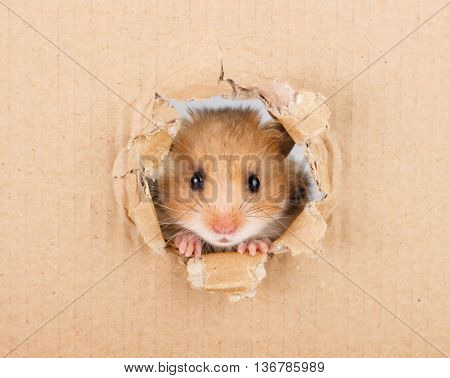 Little hamster looking up in cardboard side torn hole
