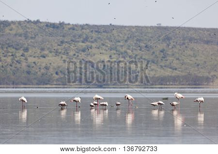 Flamingos at Lake Nakuru in Kenya near the shore.