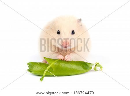 young hamster isolated on the white background