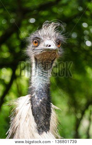 Emu Close Up Head Neck Face Portrait Bird Vertical