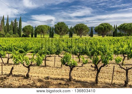 Rows of grape vines in a vineyard in the Luberon Provence