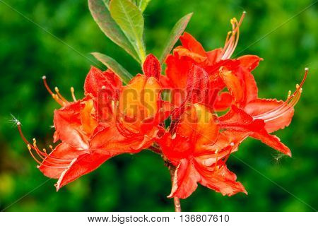 Close-up of cluster of orange Azalea (Azalea japonica) flowers.