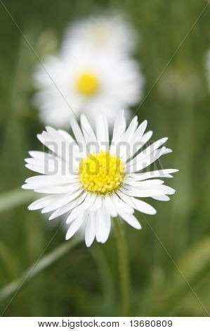common daisy  Bellis perennis