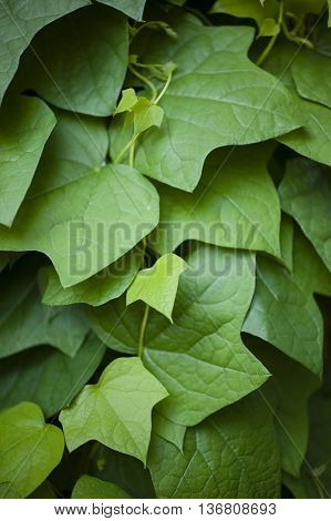 Hedera leaves commonly called ivy evergreen climbing or ground-creeping woody plants in the family Araliaceae